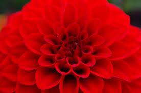 2-5-16 red dahlia