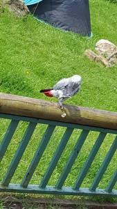 29-6-16 cute parrot at paradise park