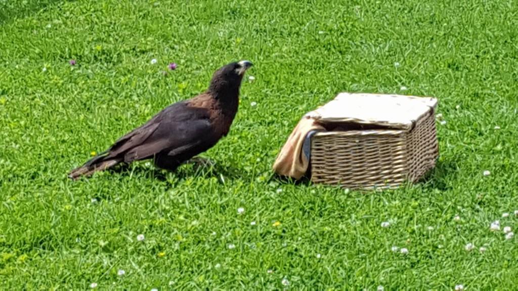 29-6-16 falklands hawk at paradise park
