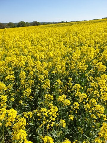 Lockdown Spending Diary Week 4 Rapeseed field