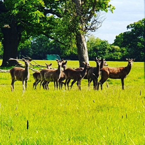 Lockdown Spending Diary Week 8 knebworth park deer